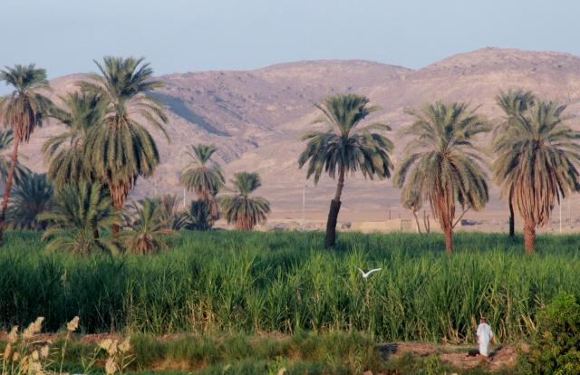 Sugar Cane Fields with the Valley of the Kings in the Background