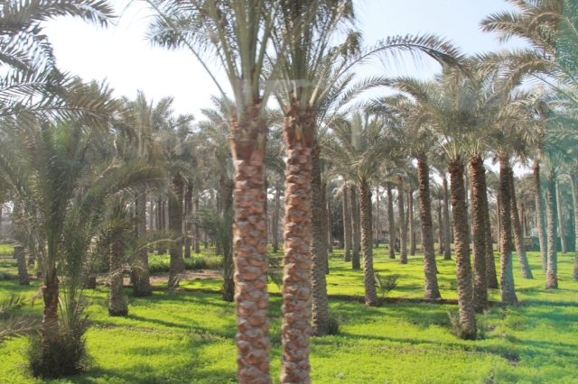 Palm Tree Plantation near Sakkara