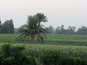 Sugar Cane Fields near the Valley of the Kings